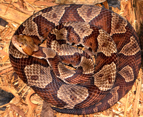 A coiled Eastern Copperhead